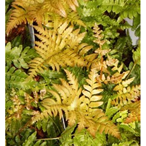 Autumn Brilliance Fern Potted Plants (1 order