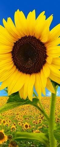 Textilbanner für Schaufenster - Thema: Sommer - Sonnenblume - 180cmx75cm - Banner zum Hängen & Dekorieren