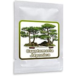 Japanische Zeder - Sicheltanne - 25 SAMEN - Cryptomeria japonica - winterhart - Kultivierbar als Baum oder Bonsai