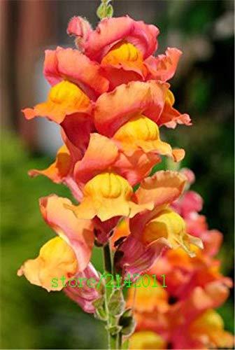 pinkdose 100 pc/sacchetto semi snapdragon, (anthirrhinum majus), semi di fiori bonsai bocca di leone, la crescita naturale per piantare giardino di casa: 9