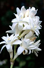 Polianthes TUBEROSA/Tuberose White Flower Bulbs (16 Bulbs in Each Pack) ONE of The Most Popular Flower Bulbs for Summer Seasons by Kraft Seeds