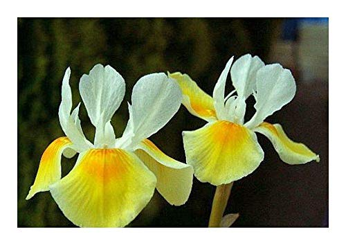 Shop Meeko Moraea Serpentina - Iridaceae - 5 Samen