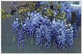 Bloom Green Co. 10pcs Wisteria Bonsai Seltene roter Wisteria Blume Bonsai-Baum ausdauernde Indoor Ziertopfpflanzen für zu Hause Mini-Garten: 4