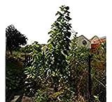 Russische Wagenrad-Riesen-Sonnenblume, der TITAN, bis 5 Meter, 20 Samen,von unserer ungarischen Farm samenfest, nur natürliche Dünger, KEINE Pesztizide