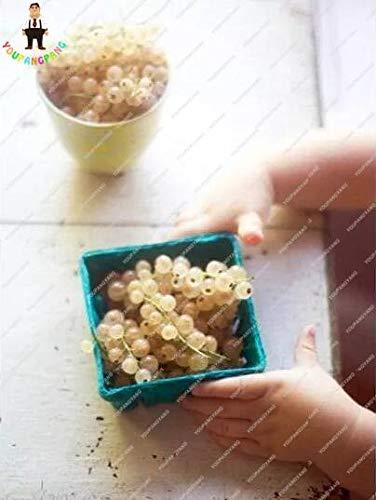 Shopmeeko Stachelbeerfrucht, saftige Johannisbeer-Bonsai Bio-Obst-Bonsai Nahrhafte Bonsai-Lebensmittel-Bonsai-Anlage für Hausgarten-Topf 50 Teile/beutel: Violett