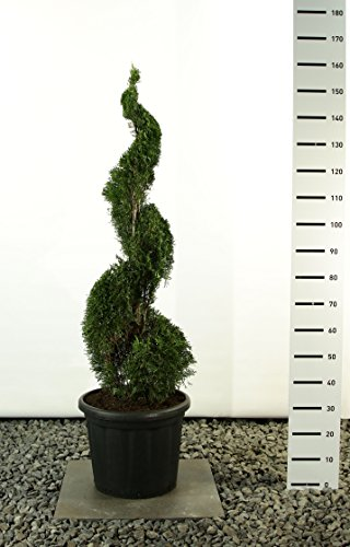 Spirale Formschnitt - Lebensbaum - Thuja occidentalis smaragd - 225-250cm im 80 Ltr. Topf