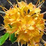 Ponak nuovi semi 200 pezzi rododendro fiore per il giardinaggio bella giallo