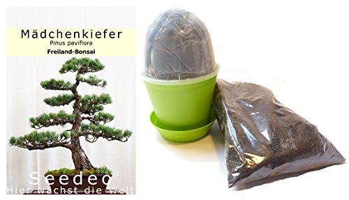 Seedeo Bonsai Anzuchtset Mädchenkiefer (Pinus parviflora)