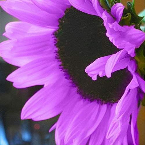 Soteer Garten- 50 Stück Riesen Sonnenblume Samen Herbstzauber Sichtschutz Bunte Blumensamen Zierpflanzen für Zaun Mauern
