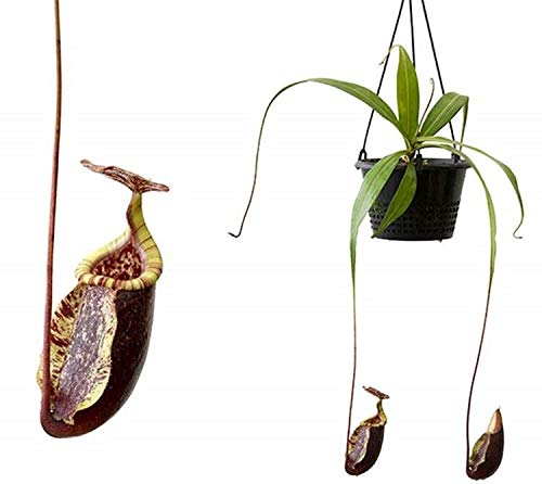 PLAT FIRM GERMINATIONSAMEN: Nepenthes rafflesiana x sibuyanensis