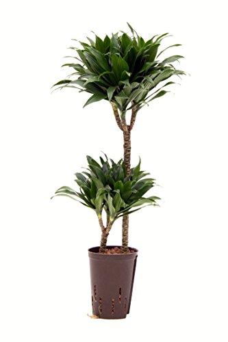 Drachenbaum, Dracaena deremensis Jant Craig Compacta, Zimmerpflanze in Hydrokultur, 15/19er Kulturtopf, 75 - 85 cm