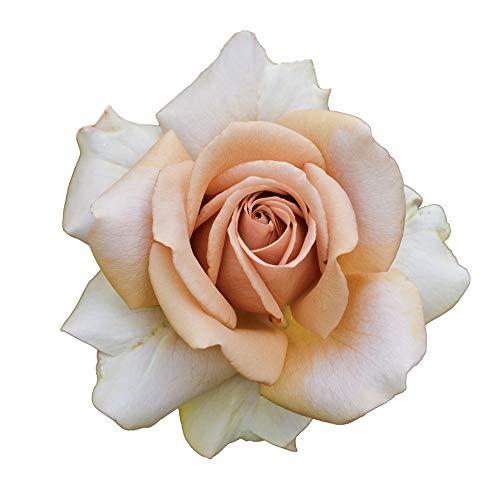 Mokarosa, rosaio vivo Rose Barni, rosa in vaso colore caffè crema, linea prestigio, fiori grandi e leggermente profumati, ideale per coltivazione in vaso e cespugli, rifiorente e robusta cod.71198