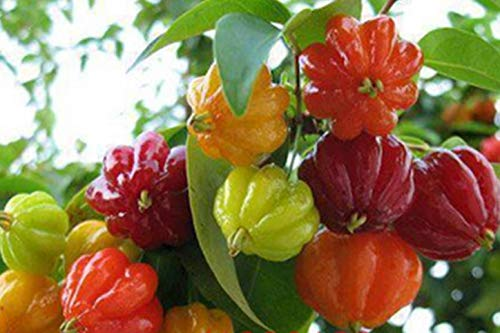 AGROBITS 20P Surinam Kirsche Samen, Pitanga Fruchtsamen, Brasilianische Kirsche -