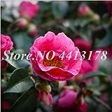 Shopmeeko SEMI: Vendita calda 5 Pz raro della camelia bonsai del fiore, piante in vaso di DIY, Luce fragrante coperta di fiori, bonsai da interno fiori delle piante: 17