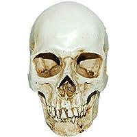 Nopea Menschlichen Schädel Replikat Harzmodell Anatomisch Medizinisches Skelett Schädel Anatomie Schädel für Menschliche Anatomieunterricht