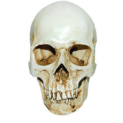 chädel Replikat Harzmodell Anatomisch Medizinisches Skelett Schädel Anatomie Schädel für Menschliche Anatomieunterricht (Schädel)