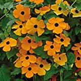Garden Care : THUNBERGIA Vine FLOWER. Seeds Creeper Upto 20 FEET Pack of 50 Seeds