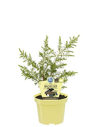 Wacholder,Grill-Wacholder,ohne Kunstdünger gezogen;12er Topf,kräftige,schöne Pflanzen (1Pflanze) - Schöne Pflanzen