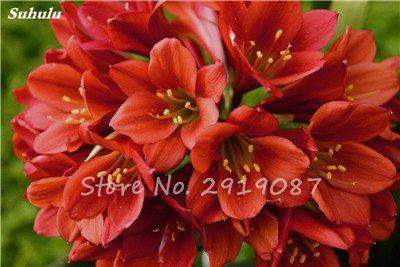 100 Pcs Clivia Graines bon marché Clivia Fleurs Mix Couleurs Bonsai Balcon fleur pour jardin meilleur cadeau pour les enfants So Beautiful 10