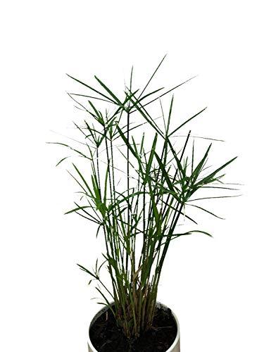 Zimmer-Zyperngras Ableger -Cyperus alternifolius- WASSER-PALME
