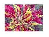 30x Blatt-Amaranth-Fuchsschwanz Samen Garten Pflanze Strauch KS342