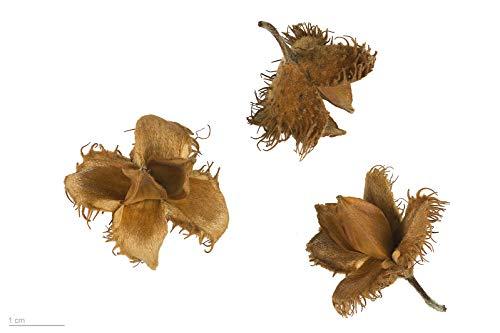 Rotbuche (Fagus sylvatica) 10 große Samen (Heimischer Baum - Winterhart)