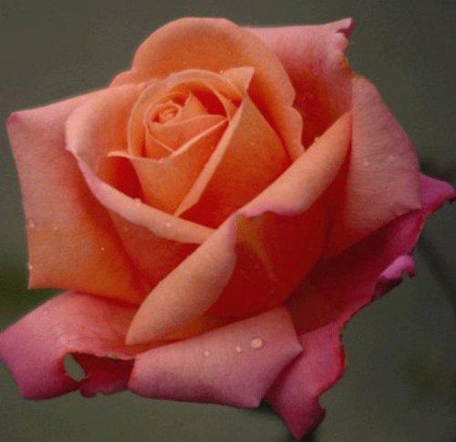 rosa-bush-rose-hybrid-tea-troika-plant