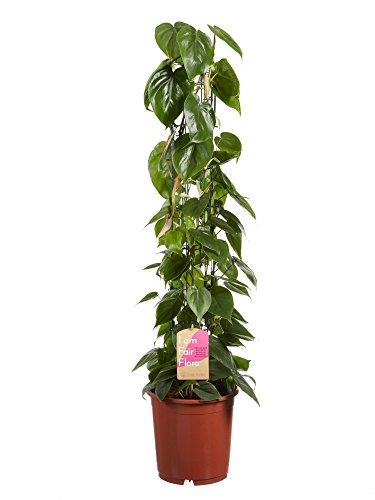 Philodendron scanden 120 cm