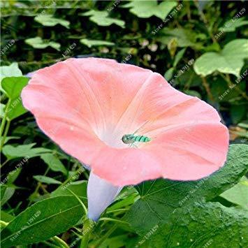 VISTARIC Mixte: Fruits Graines Corossol Graviola Annona semences Multi-Couleurs Annona Graine de Bricolage Jardin de Croissance des Plantes en Pot Naturel 3 PiãšCes