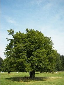 10 Semi di Carpino europeo B1719 (Carpinus betulus)