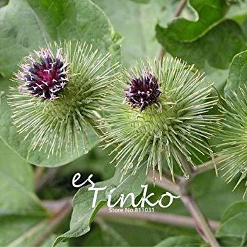 50pcs Große Klette Achene Samen Fructus Arctii Blumensamen chinesische Tradition Medizin Herb Blumensamen Gartenpflanze DIY