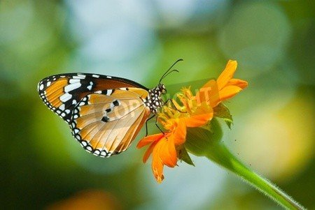 "Alu-Dibond-Bild 90 x 60 cm: ""Orange butterfly on flower, Thailand."", Bild auf Alu-Dibond"