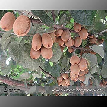 (Visa Store H: 2018 Neuheiten !!100% True Variery Mini Große Kiwi Frucht Heirloom Chinesische Stachelbeere Obst Samen, professionelle Pack, 50 Samen/Pack E3373 - (Farbe H))