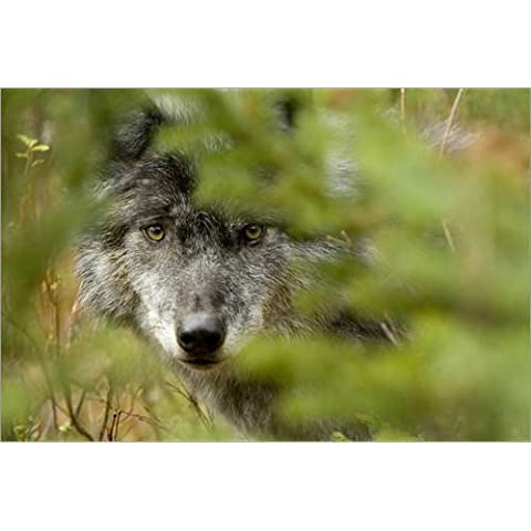 Stampa su legno 130 x 90 cm: Grey Wolf, Outside Golden, British Columbia di Robert Postma / Design Pics