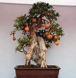 AGROBITS 50 pezzi bonsai semi di melograno molto dolci semi di frutta Delicious, semi di piante grasse albero bonsai mini per il regalo di casa: 4