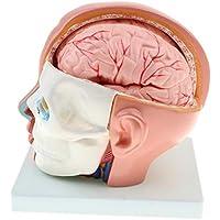 49d5e3cc74 NON Sharplace 1  1 Modelo Anatómico de Estructura de Cerebro Humano  Herramienta de Enseñanza Escolar
