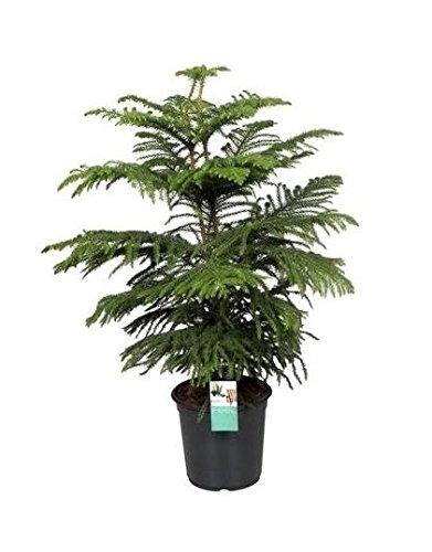 FloraStore - Araucaria Heterophylla (Kammer) 95 cm (1x), Topf 24 CM, Zimmerpflanze