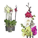 3x echte Phalaenopsis Orchideen 2 Triebe - 50 bis 70cm groß - Schmetterlingsorchidee wunderschöne blühende Tischpflanzen Blumen Geschenkset Naturprodukt