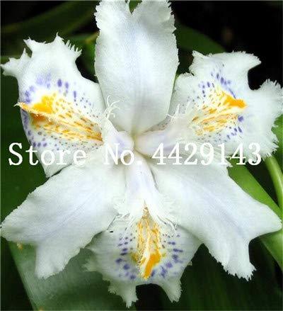 Galleria fotografica prime vista 100 pezzi Bonsai Iris Flower Perennia Flower Rare Flower iris barbuto, piante della natura Orchidea fiore DIY per giardino Facile da coltivare: 22