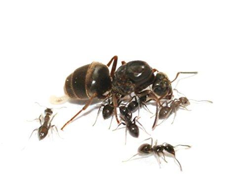 ANTCUBE Lasius niger ( Schwarze Wegameise) - Ameisenkolonie mit Königin