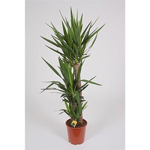 Blumen-Senf Yucca elephantipes 3 Köpfe 130-140 cm / Topf Ø 24 cm / Riesen-Palmlilie / Yucca Palme