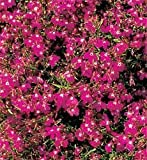 SeeKay Lobelia Cascade Red Appx 1,500 seeds