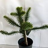 Andentanne / Chilenische Schmucktanne - Araucaria araucana im Topf 40-50cm