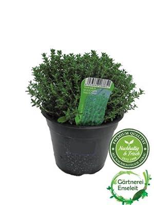Thymian,Italienischer Thymian im 15cm Topf,frisch aus nachhaltigem Anbau von Weselerkräuterparadies - Du und dein Garten
