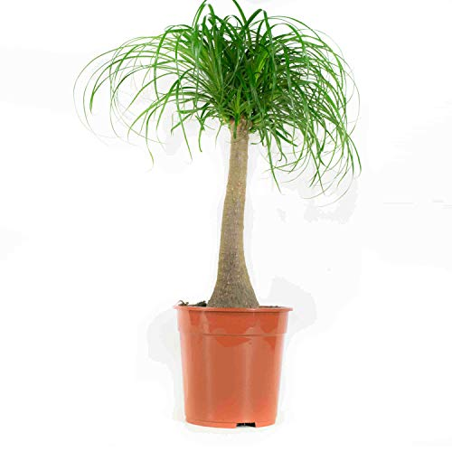 choice of green -1 beaucarnea beaucamea o elefante pianta della gamba-sala in pot coltivatore ?24 cm-altezza ? 80 cm
