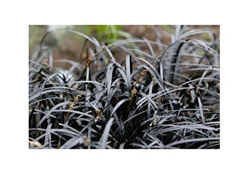6x Frisch Dunkelblättriger Schlangenbart Ziergras Garten Pflanze K-P73