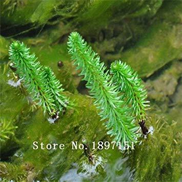 Galleria fotografica Grande vendita caldo libero di trasporto di vendita 500pcs semi acquario erba semi (mix) di acqua acquatica semi di piante (15 tipi) facile piano famiglia