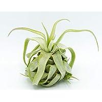 Allterra Tillandsia streptophylla, Tillandsien, Bromeliengewächs