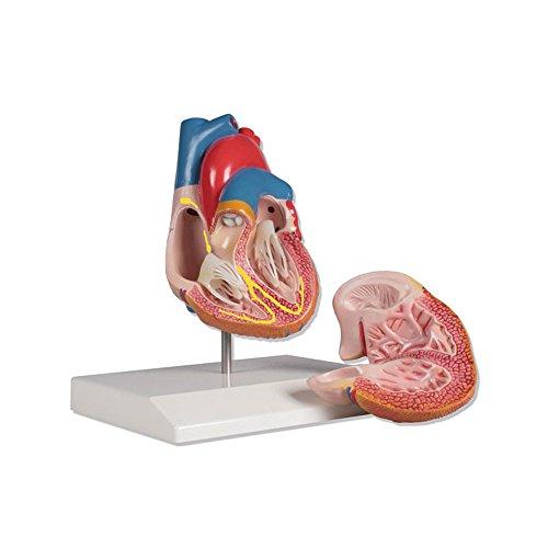 Herzmodell mit Reizleitungssystem, Anatomie Modell, Herz, lebensgroß, 2-teilig (Modell Herz)