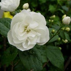 Gartenjasmin 'Virginal' - Philadelphus 'Virginal' - Blütenstrauch